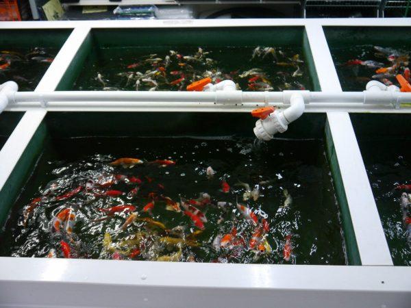 SF-Pond-clear-filter-UV-SF-8000lph-ECO-pump-pipe-clips-ponds-upto-12000L-322533977391-5