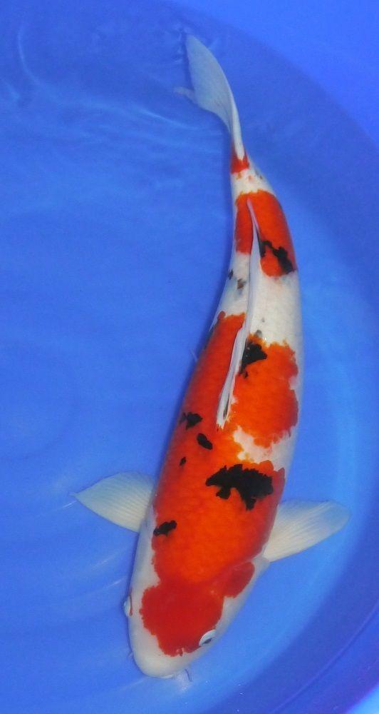 A-Stunning-Japanese-Koi-carp-from-Kings-Lynn-Koi-Hirasawa-Sanke-62cm-222527179852