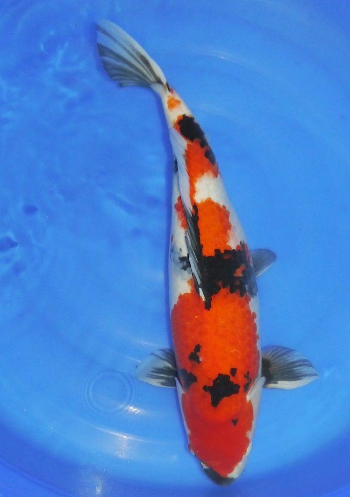 A-Stunning-Japanese-Koi-carp-from-Kings-Lynn-Koi-Hirasawa-Showa-55cm-322533976825-2